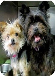 Maltese/Yorkie, Yorkshire Terrier Mix Dog for adoption in Nanuet, New York - Pretty and Shadow