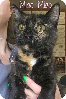Domestic Shorthair Cat for adoption in Menomonie, Wisconsin - Miao Miao