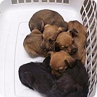 Adopt A Pet :: Laundry Basket Litter - Southampton, PA