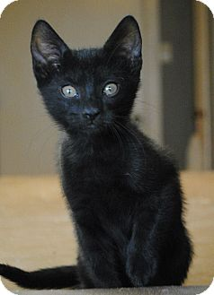 Domestic Shorthair Kitten for adoption in Weatherford, Texas - Relish