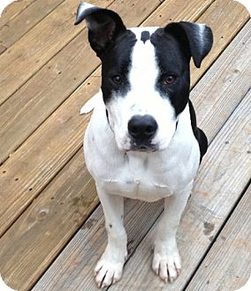 Pit Bull Terrier Mix Dog for adoption in McCormick, South Carolina - AA Petey