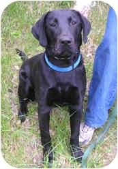 Labrador Retriever Dog for adoption in Milton, Massachusetts - Buck
