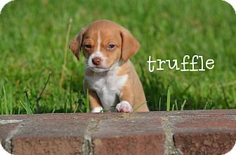 Terrier (Unknown Type, Small) Mix Puppy for adoption in MARION, Virginia - Truffle