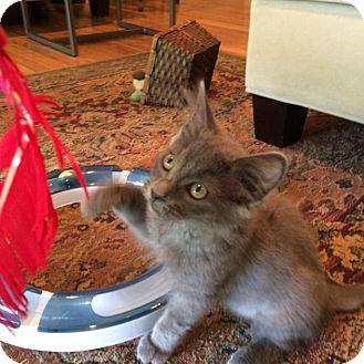Domestic Mediumhair Kitten for adoption in Winston-Salem, North Carolina - Graycie