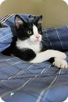 Domestic Shorthair Kitten for adoption in Charlotte, North Carolina - Comet