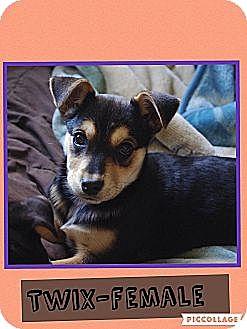 Australian Cattle Dog Mix Puppy for adoption in Harrisonburg, Virginia - Twix