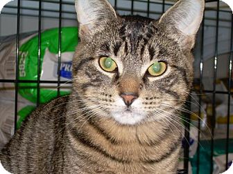 Domestic Mediumhair Cat for adoption in Wakefield, Massachusetts - Cutzie