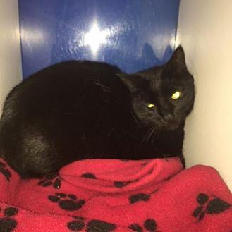 Domestic Shorthair Cat for adoption in Atlanta, Georgia - Stature