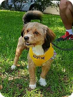 Yorkie, Yorkshire Terrier/Border Terrier Mix Dog for adoption in Houston, Texas - Bailey