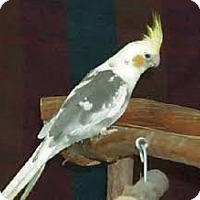 Adopt A Pet :: cockatiels - Independence, KY