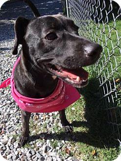 Labrador Retriever Mix Dog for adoption in Greensboro, North Carolina - Shasta