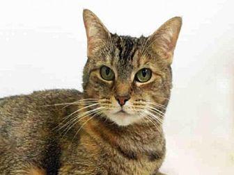 Domestic Mediumhair Cat for adoption in Hampton Bays, New York - PENELOPE