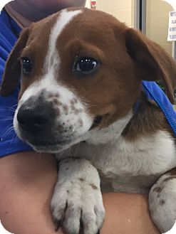 St. Bernard/Spaniel (Unknown Type) Mix Puppy for adoption in knoxville, Tennessee - CRICKET