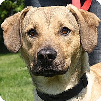 Labrador Retriever Mix Dog for adoption in Huntley, Illinois - Allen