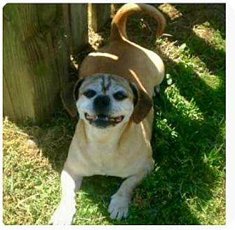 Dachshund/Pug Mix Dog for adoption in Greensboro, Maryland - Roger