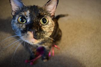 Calico Cat for adoption in Little Rock, Arkansas - Galaxy