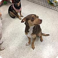 Adopt A Pet :: Nicole - Gilbert, AZ