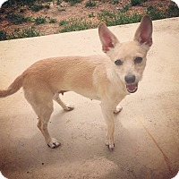 Chihuahua Mix Dog for adoption in Fort Collins, Colorado - Cheese