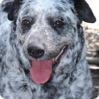 Adopt A Pet :: Clarabelle - Savannah, MO
