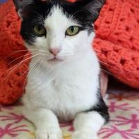 Adopt A Pet :: Ygritte - Bristol, IN