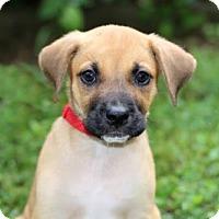Adopt A Pet :: PUPPY PEPPER - Allentown, PA