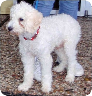 Bichon Frise/Poodle (Miniature) Mix Puppy for adoption in Houston, Texas - TJ