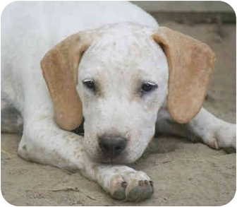 Labrador Retriever/Hound (Unknown Type) Mix Puppy for adoption in Portland, Maine - Little Tennessee