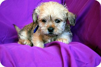 Brussels Griffon/Yorkie, Yorkshire Terrier Mix Puppy for adoption in Broomfield, Colorado - Buster