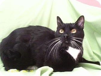 Domestic Shorthair Cat for adoption in Staunton, Virginia - Boots