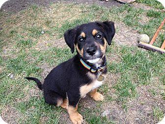 German Shepherd Dog Mix Puppy for adoption in Winnipeg, Manitoba - Cash