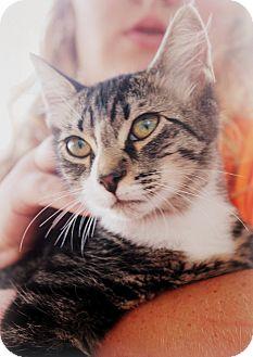 Domestic Shorthair Kitten for adoption in Groveland, Florida - Gizmo