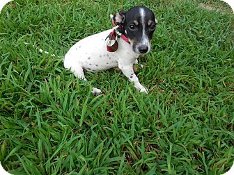 Jack Russell Terrier/Beagle Mix Puppy for adoption in Newark, Delaware - Scooter