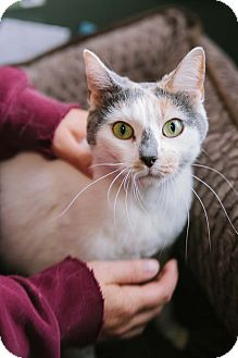 Calico Cat for adoption in Hazel Park, Michigan - Buttons