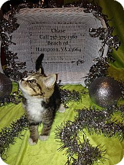 Domestic Shorthair Kitten for adoption in Virginia Beach, Virginia - chase