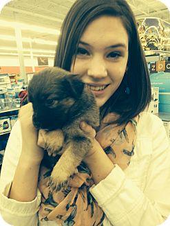 German Shepherd Dog/Labrador Retriever Mix Puppy for adoption in Ogden, Utah - Female needs name