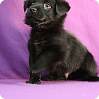 Adopt A Pet :: Dagny - Broomfield, CO