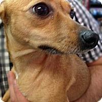 Adopt A Pet :: Tulip - Chicago, IL