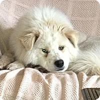Adopt A Pet :: Kaya - Arvada, CO