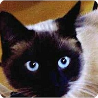 Adopt A Pet :: Shiraco - cincinnati, OH