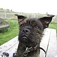 Adopt A Pet :: Ben - Vaudreuil-Dorion, QC
