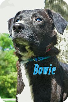 Border Collie Mix Dog for adoption in Sidney, Ohio - Bowie