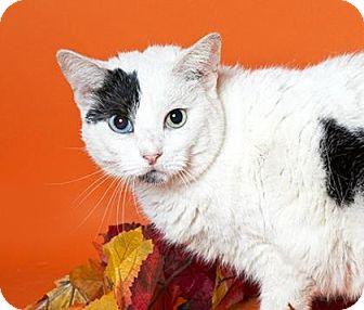 Domestic Shorthair Cat for adoption in Brooklyn, New York - Yolandi