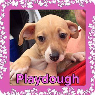 German Shepherd Dog/Foxhound Mix Puppy for adoption in Pahrump, Nevada - Playdough