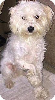 Maltese/Poodle (Miniature) Mix Dog for adoption in Thousand Oaks, California - Janet