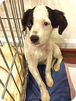 Border Collie Mix Puppy for adoption in WESTMINSTER, Maryland - Lagoona Blue