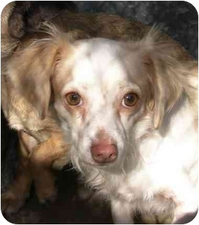 Spaniel (Unknown Type)/Dachshund Mix Dog for adoption in El Segundo, California - Cora