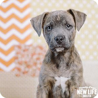 Pit Bull Terrier Mix Puppy for adoption in Portland, Oregon - Hamlet