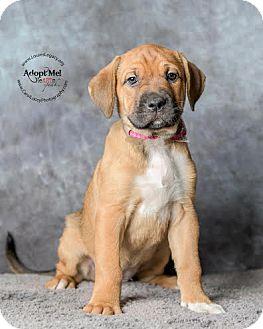Labrador Retriever Mix Puppy for adoption in Cincinnati, Ohio - Rafiki