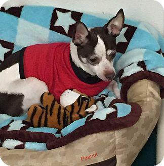 Chihuahua Mix Dog for adoption in Hibbing, Minnesota - Peanut