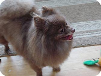 Pomeranian Dog for adoption in Mt Gretna, Pennsylvania - Gatsby